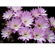 Profusion of Pink Cactus Photographic Print