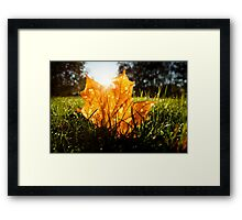 Autumn color maple leaf on grass Framed Print