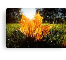 Autumn color maple leaf on grass Canvas Print