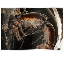 Amphipod Lovers Poster