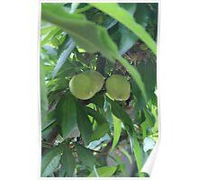 Minature Peaches; La Mirada, CA USA Poster