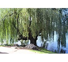 Old Weeping Willow Tree Photographic Print
