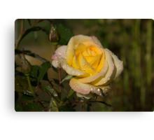 Golden Yellow Sparkles - a Fresh Rose With Dewdrops Canvas Print