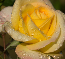 Golden Yellow Sparkles - a Fresh Rose With Dewdrops Sticker