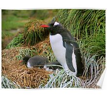 Gentoo Penguins on the Nest Poster
