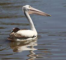 Australian Pelican by Carole-Anne