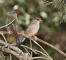 Red-browed Firetail by Carole-Anne