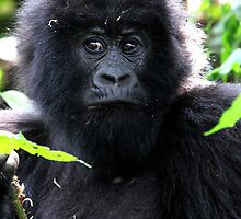 """What are you going to do to me?"" Juvenile Mountain Gorilla by Carole-Anne"