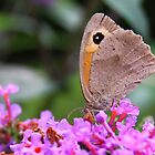 Meadow Brown - Maniola jurtina by Lepidoptera