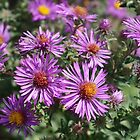 Autumn Amethyst - New England Aster flowers by rvjames