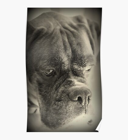 Waiting For My Treat - Boxer Dogs Series Poster
