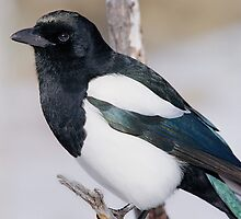 Black-billed Magpie by Eric Glaser