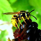 Blackberry with wasp by ©The Creative  Minds