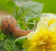 Garden Snail and Yellow Flower by Christopher Carlson