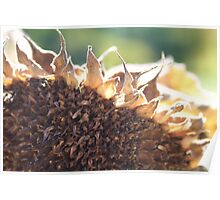 Dying Sunflower Photograph Poster