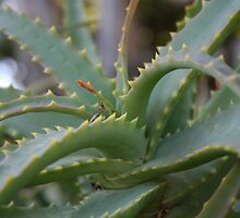 Aloe Vera Leaves  by taiche