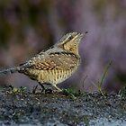Wryneck (Jynx torquilla Linnaeus) - II by Peter Wiggerman