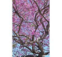 Pink Spring Blossoms Photographic Print