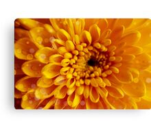 Sunny yellow chrysanthemum background Canvas Print