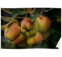 Organic lady apples Poster