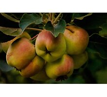 Organic lady apples Photographic Print