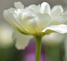 Green and White Tulip by joAnn lense