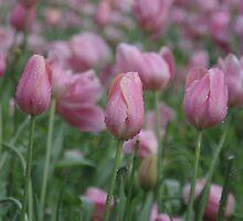 Spring Tulips in Western Australia by lezvee