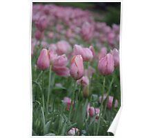 Spring Tulips in Western Australia Poster