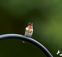Young Male Hummingbird by TJ Baccari Photography