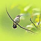 Ruby-throated Hummingbird - Immature Female - Archilochus colubris  by MotherNature