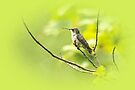 Ruby-throated Hummingbird - Immature Female - Archilochus colubris  by MotherNature