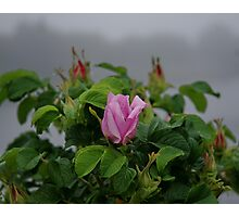 Rose at Dawn Photographic Print