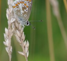 Silver Studded Blue Butterfly at Gwithian Nature Reserve in Cornwall. Sticker