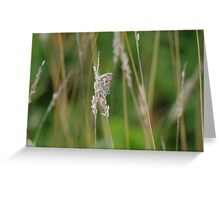 Silver Studded Blue Butterfly at Gwithian Nature Reserve in Cornwall. Greeting Card
