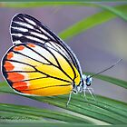 Painted Jezebel (Delias indice) i by DonMc