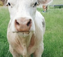 Irish Cows Sticker
