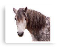 Dartmoor Pony Canvas Print