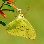 Clouded Sulphur Butterfly by Kathy Baccari