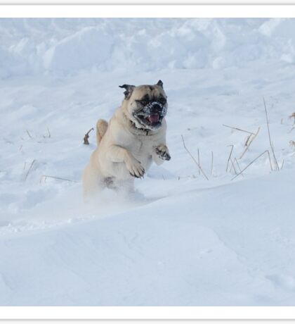 Pug Dog Playing in Winter Christmas Snow Sticker