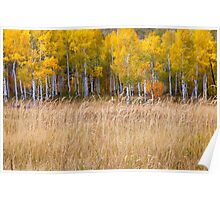 Yellow Aspen Grove Poster