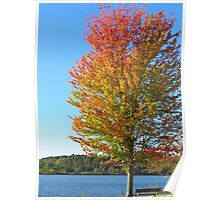 Autumn Maple Under Blue Skies  Poster
