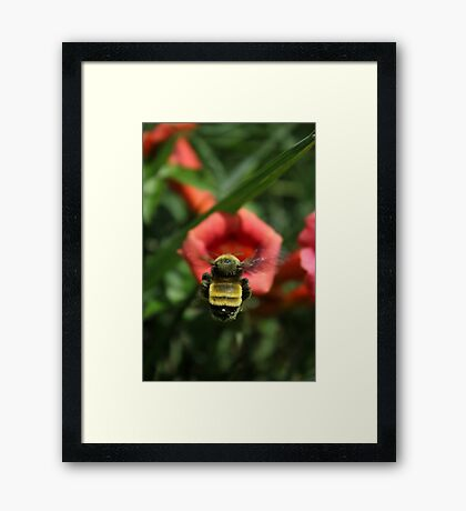 Trumpet Bumble Framed Print