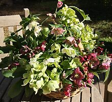 Hellebores at Appletree Hill by AppletreeHill