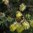 Bee on wattle buds Diamond Creek Track 201408220408  by Fred Mitchell