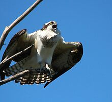 Osprey Calling by hummingbirds