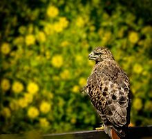 Hawk in sunflowers by LudaNayvelt