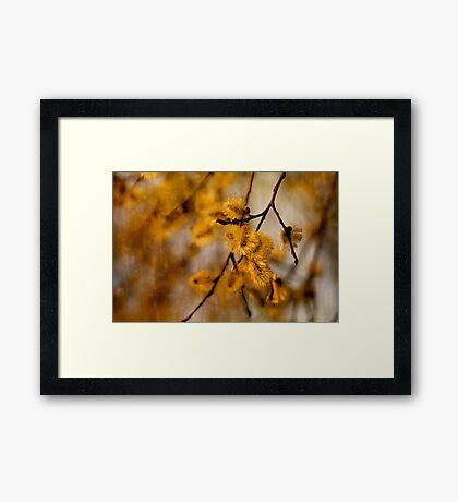 Catkins  Framed Print