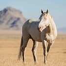 A Solitary Cremello Stallion  by Kelly Jay