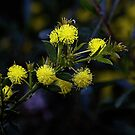 Wattle Leith Park Victoria 20160906 7469  by Fred Mitchell