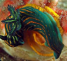 Roboastra luteolineata laying eggs by Deb Aston